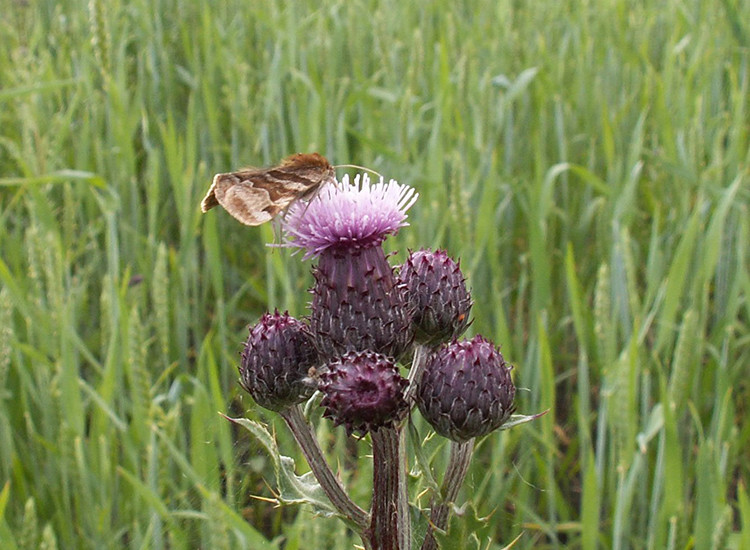 Fjäril på tistelblomma, spannmålsfält i bakgrunden.