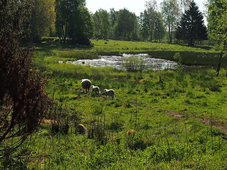 Tre lamm på grönt naturbete.