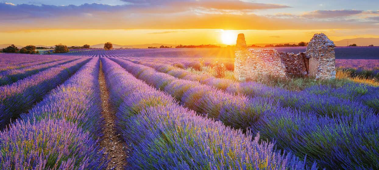 Fält med lavendel i solnedgång